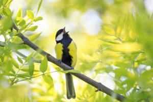 Kunnen vogels muziek maken?