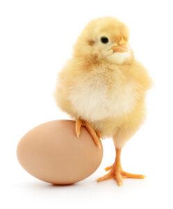 Vraag van een leerling: Wie was er eerder, de kip of het ei?